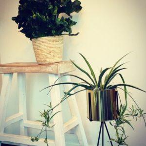 bloemen roels kamerplant